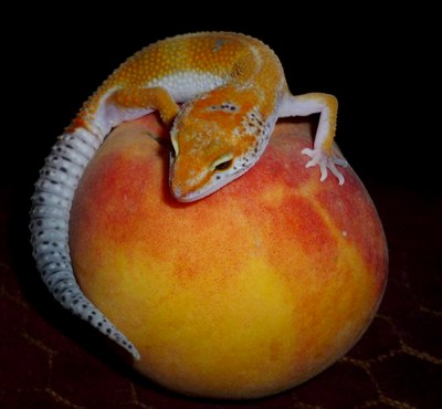 gecko with fruit