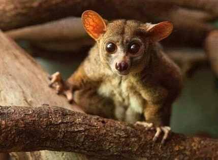 an image of the greater galago