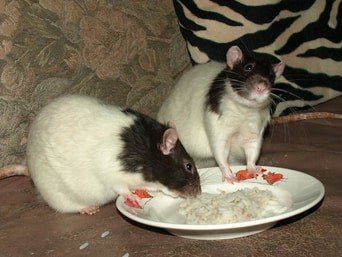 picture of rats eating rice