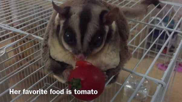 photo of a sugar glider eating a tomato