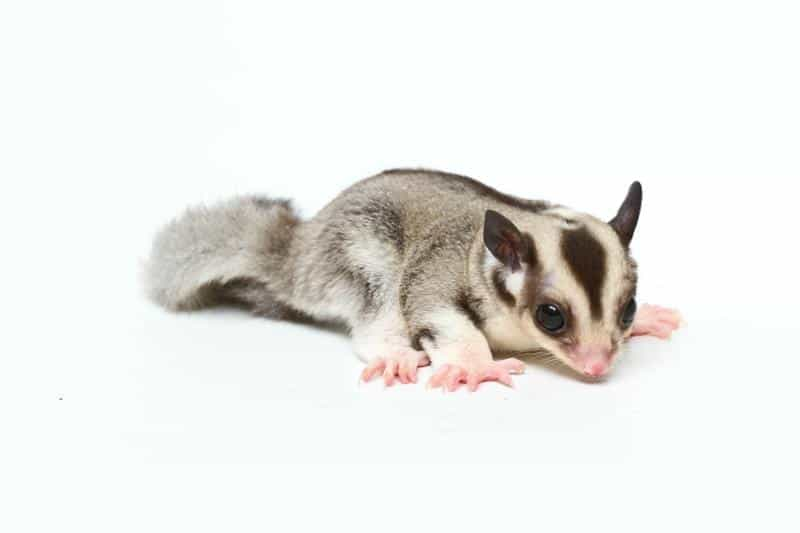 photo of a sugar glider on a white background