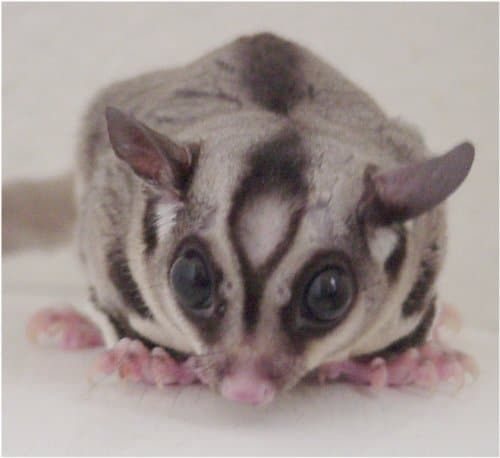 sugar glider fact: they have a bald spot