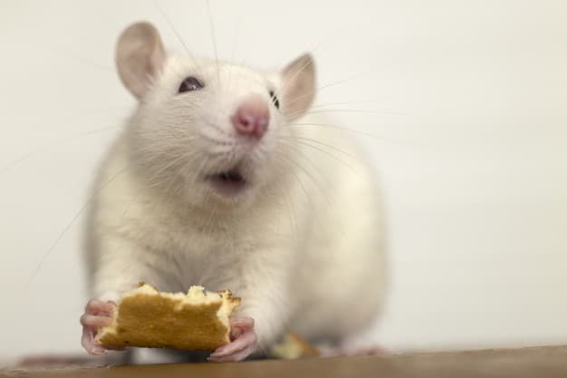 a white domestic rat eating some bread