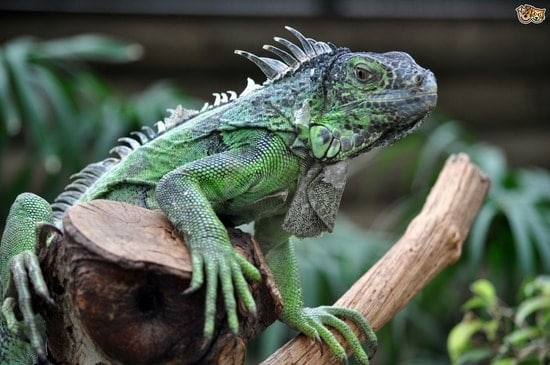 a picture of a pet iguana