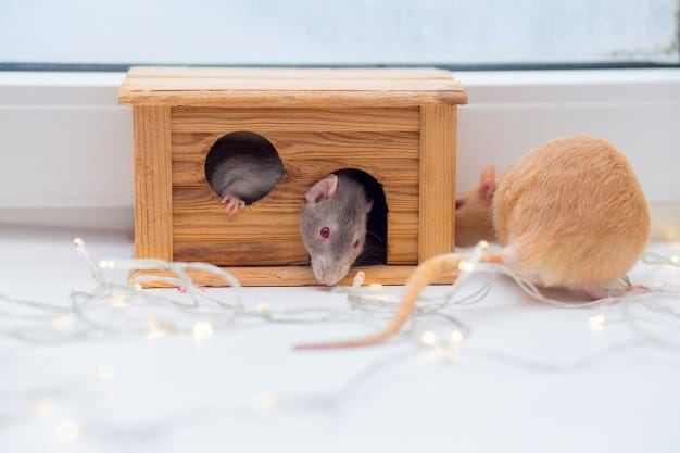 fancy rats playing