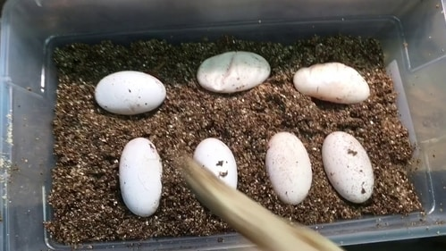 a picture of iguana eggs