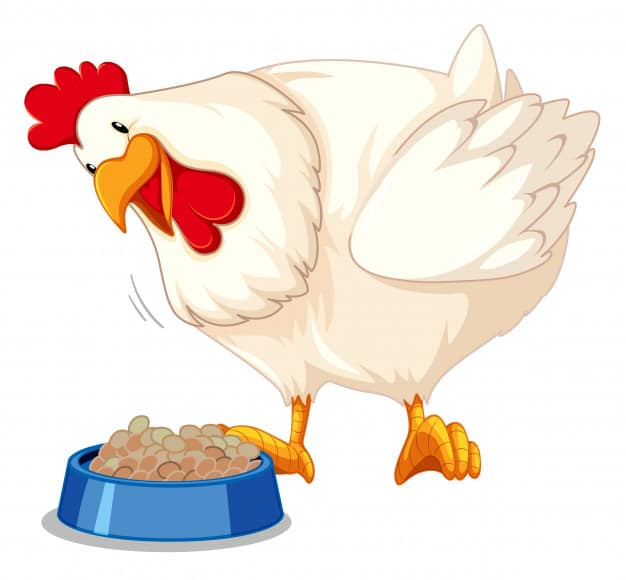 a chicken eating - are they carnivores, herbivores or omnivores?