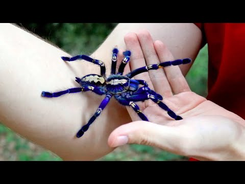 handling the gooty sapphire tarantula is not recommended