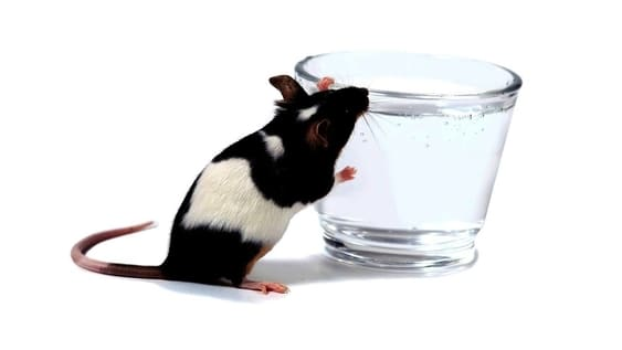 how long can rats live without drinking water