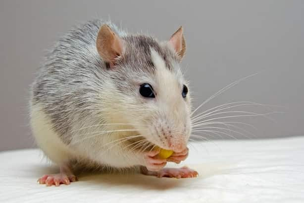 how long can rats survive without food?