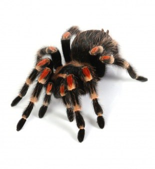 picture of a tarantula - does it recognize its owner?
