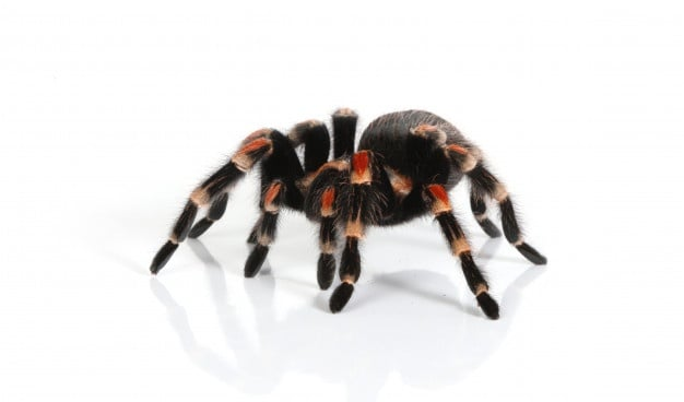 photo of a tarantula - are these creatures nocturnal?