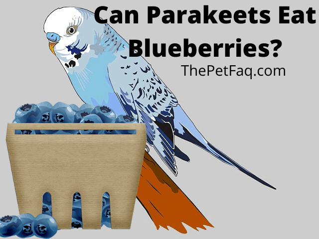 can parakeets eat blueberries
