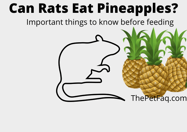 can rats eat pineapple