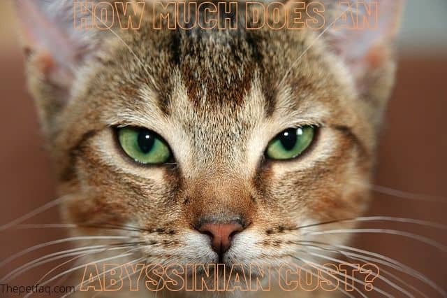 how much does an Abyssinian cost