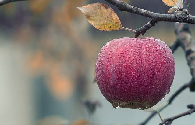 picture of an apple - can mice eat this?