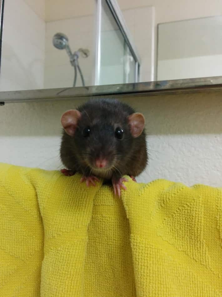 Picture of a dumbo rat