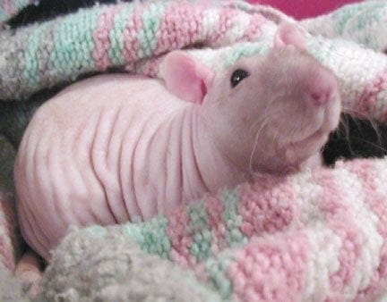picture of a hairless rat