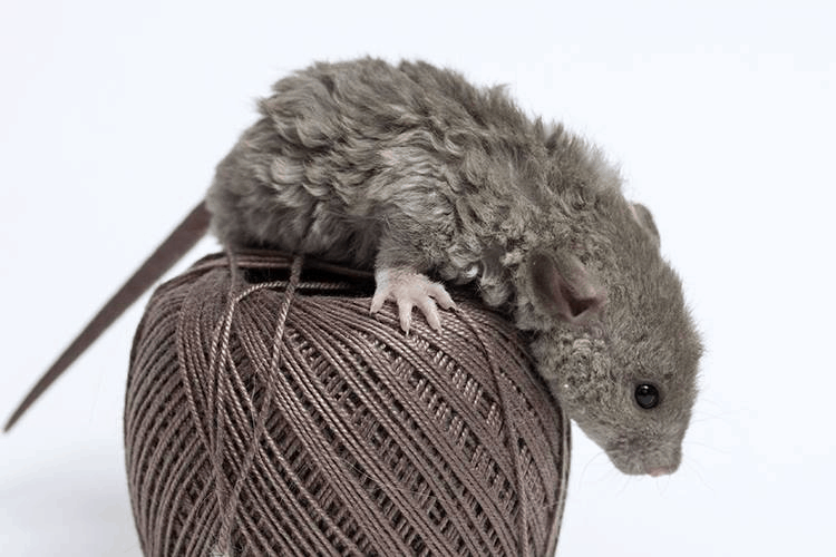 picture of a rex rat