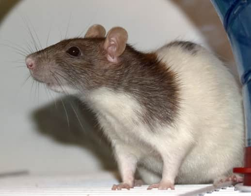 a picture of a standard rat
