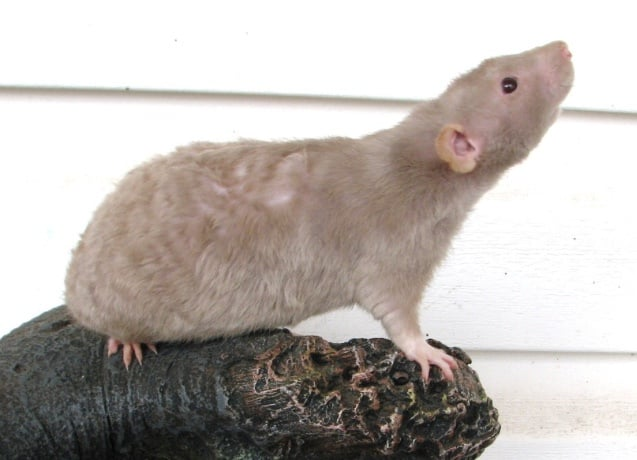 a picture of a tailless rat