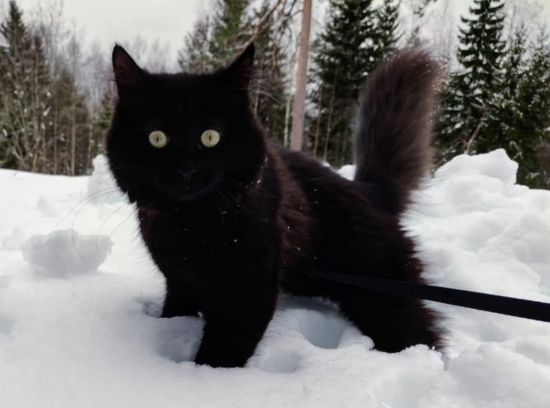 a picture of a black siberian kitten