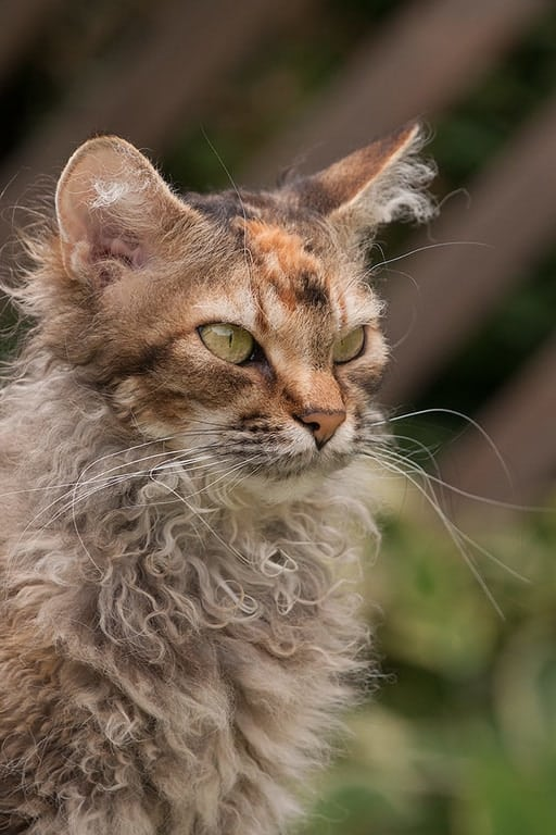 laperm cat with curly hair