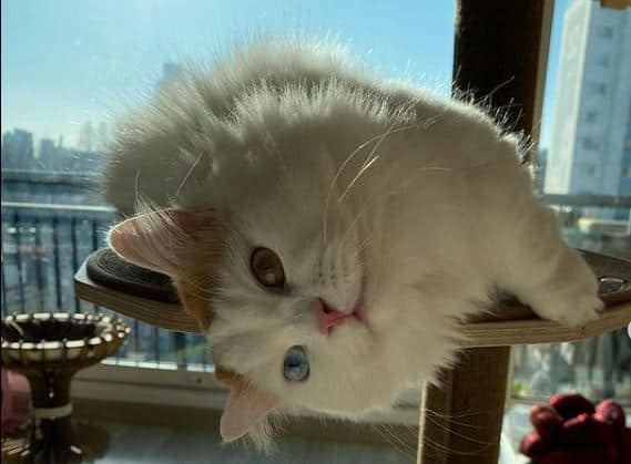 picture of a napoleon cat