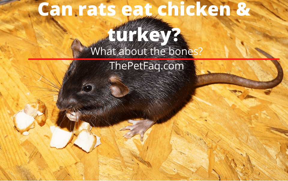 can rats eat chicken or turkey