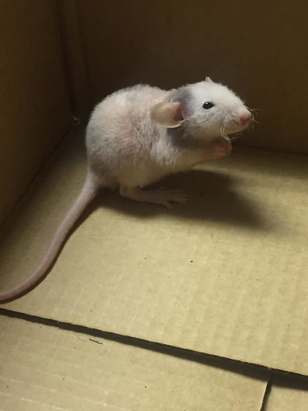 picture of a baby dumbo rat
