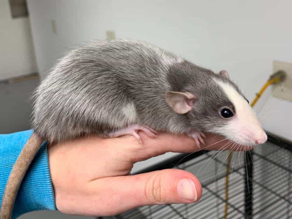 picture of a husky rat