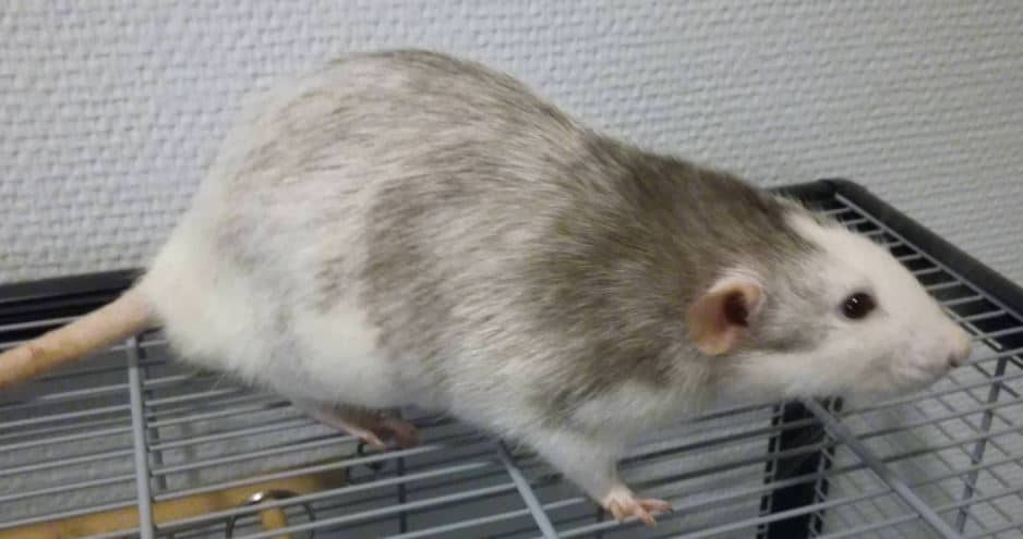 another picture of a husky rat