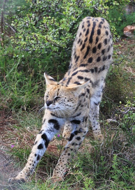 wild serval cat stretching its legs