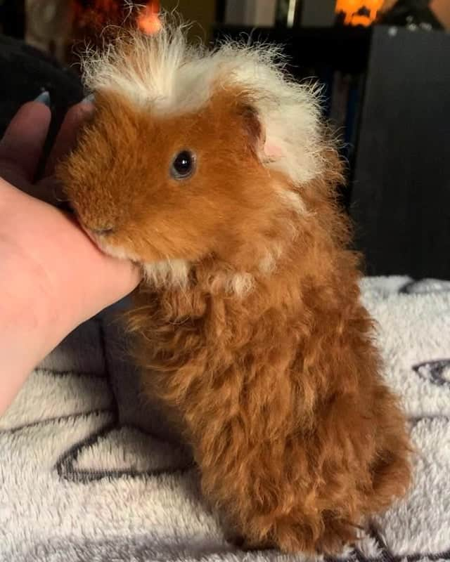 a picture of a texel guinea pig