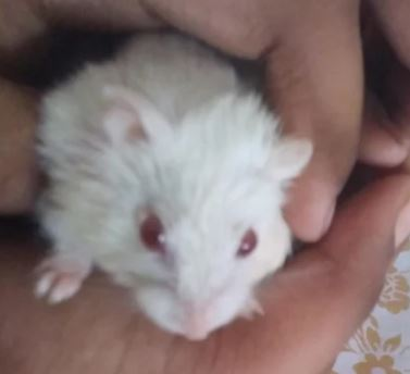 do the red eyes of this albino hamster mean that it's blind?
