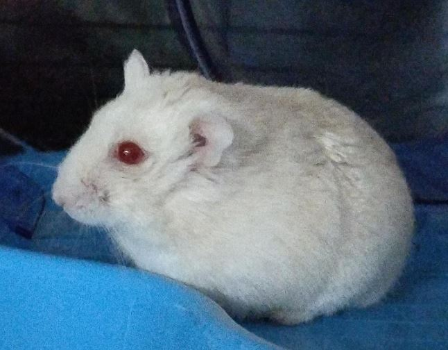 a picture of an albino hamster