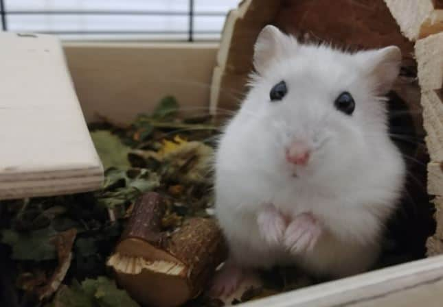 picture of a white hamster