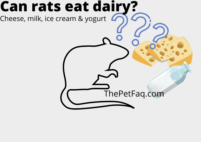 can rats eat dairy?
