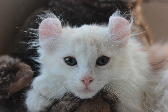 american curl with round ears