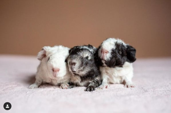 a picture of baby merino guinea pigs