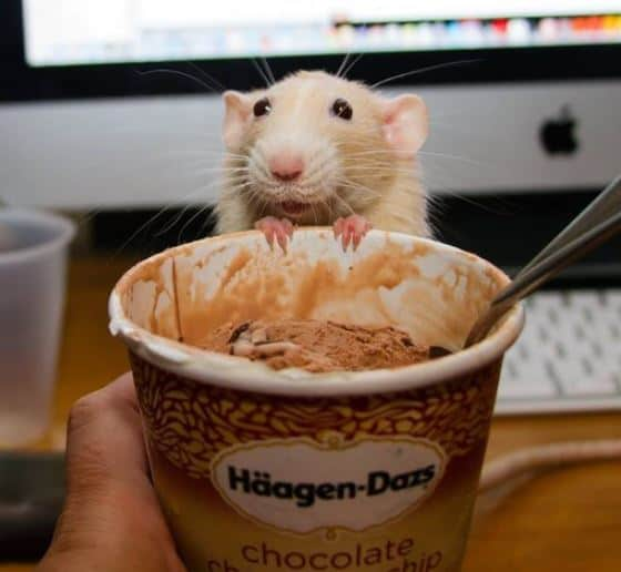 can rats eat ice cream