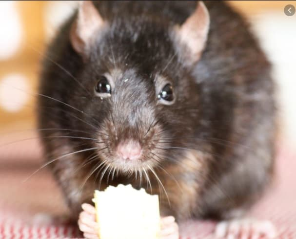 picture of a rat snacking on some cheese