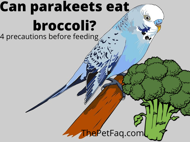 can parakeets eat broccoli