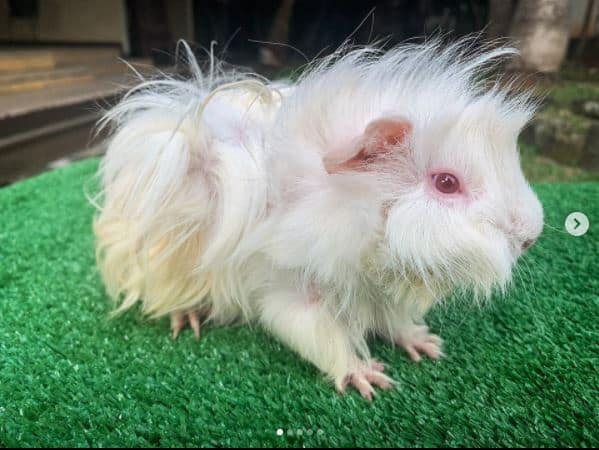 picture of a sheba guinea pig