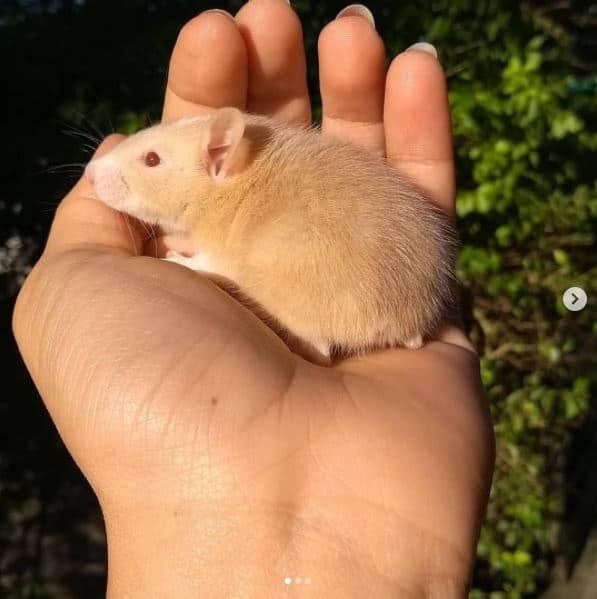 picture of a tailless rat