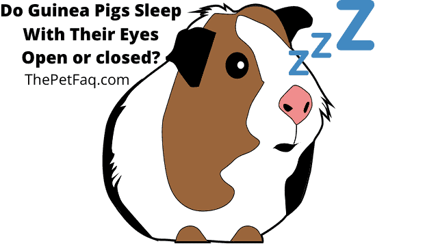 do guinea pigs sleep with their eyes open or closed