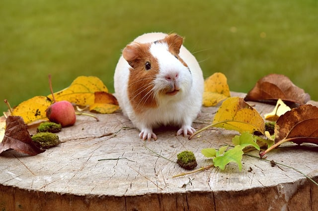 photo of an american guinea pig