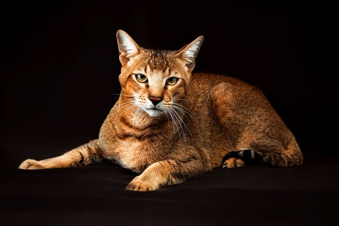 chausie cat picture