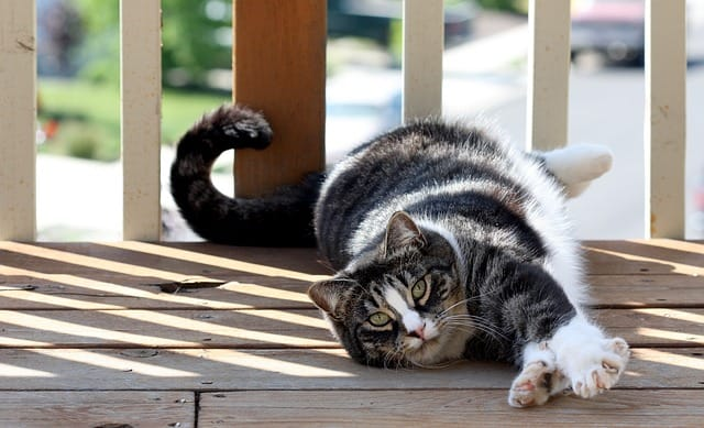 picture of an american shorthair