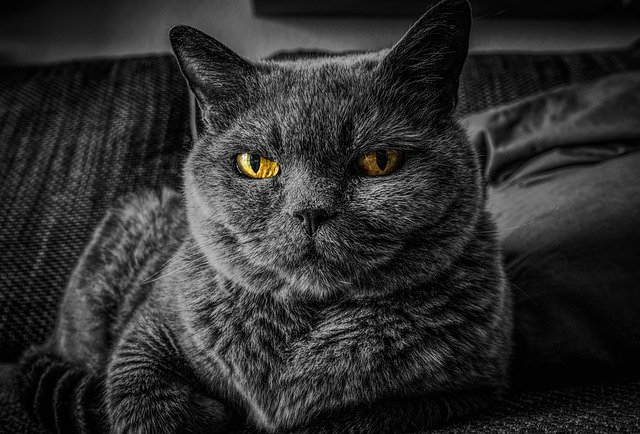 picture of a british shorthair